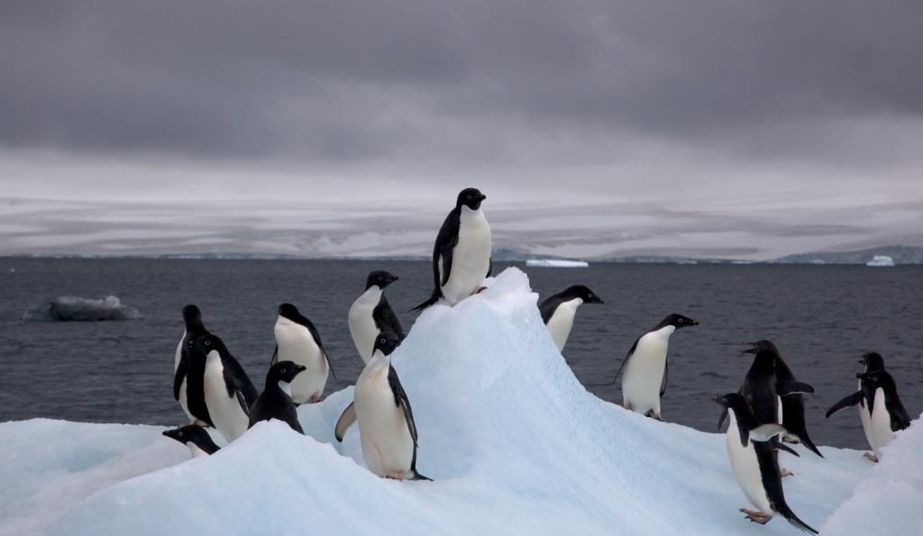 Antarctique pingouins