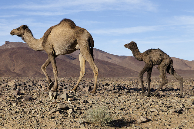 desert-du-maroc-chameau