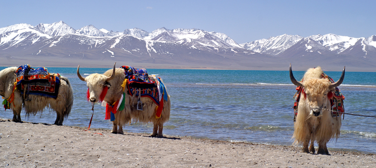 Yaks in front of snow covered mountains and lake in Tibet